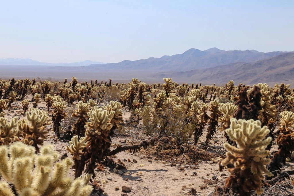 joshua-tree-cholla-cactus-garden
